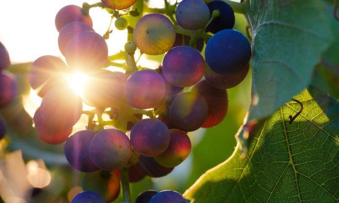 bahaya hamil anggur